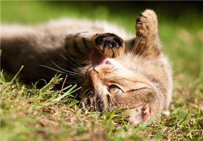 虎斑猫有点泪眼正常吗?虎斑猫有泪痕怎么清除?